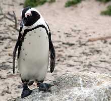 African Penguin by Angus Russell