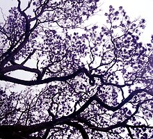 jacaranda by ChristineBetts