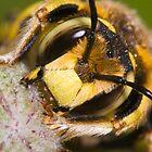 Wool Carder Bee (Anthidium manicatum) by André Gonçalves