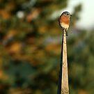 Eastern BlueBird II by BigD