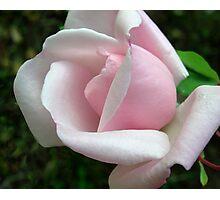Last Rose of Summer Photographic Print