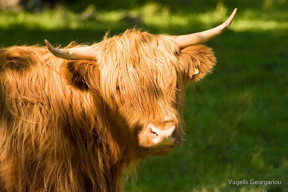 Highland Cow by Vagelis Georgariou