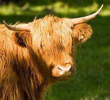 Highland Cow by Vagelis Georgariou