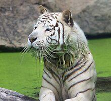 White Tiger by BlackIrisStudio