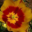 Tulip in Full Bloom by Rebecca Silverman