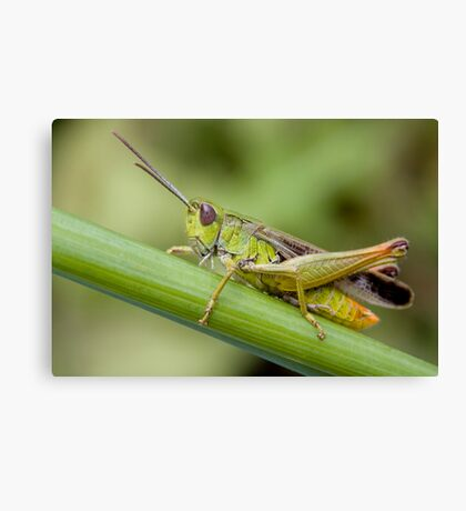 Unknown Insect Canvas Print
