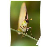 Pale Clouded Yellow Poster