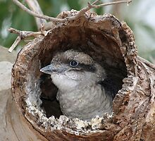 Young Kookaburra in Nesting Hollow by Jenny Brice