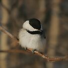 Canadian cotton balls... by Normcar