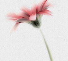 Delicately Painted High Key Gerbera by DavidWHughes