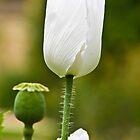 Poppy by Nala