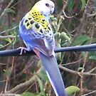 Pale headed Rosella by Coloursofnature