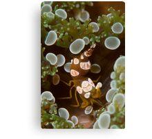 Squat Shrimp Canvas Print