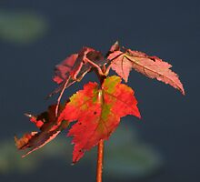 Autumn Maple Sapling by Len Bomba