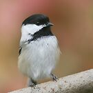 Chickadee... by Normcar