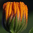 morning dew on a calendula by Clare Colins