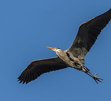 Great Blue Heron In Flight 2014-1 by Thomas Young