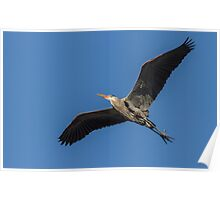 Great Blue Heron In Flight 2014-1 Poster