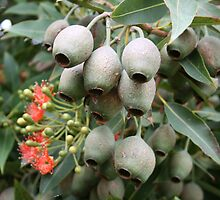 gum nuts by SassyPhotos