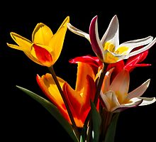 Tulip flowers against black background by luckypixel