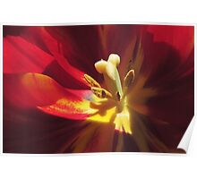 Shaddow and Light in a Tulip's Heart Poster