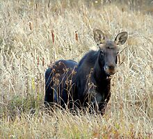 Young bull moose by Wabacreek Photography