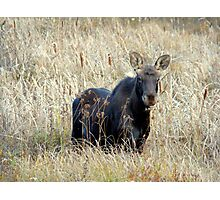 Young bull moose Photographic Print