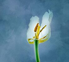 White withering tulip flower by luckypixel