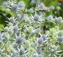 Sea Holly by Edith Farrell