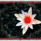 Christmas Water Lily     116 Views by Rosalie Scanlon