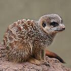 Meerkat by Jenny Brice