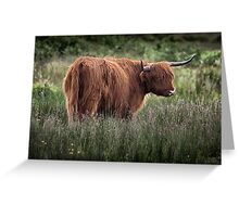 Highland long haired cattle Greeting Card