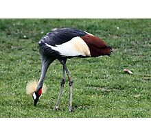 African Crane Photographic Print