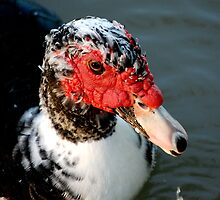 Masked Duck by lorib