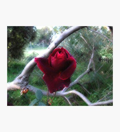Rose 1 Photographic Print