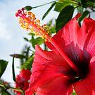 Scarlet Hibiscus by CinB