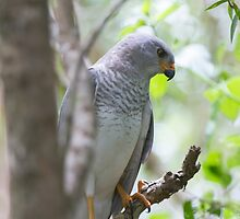 My Backyard Goshawk by byronbackyard
