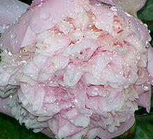 Raindrop Peony by pamela11