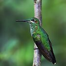 Green-Crowned Brilliant Hummingbird - Costa Rica by Jim Cumming