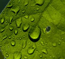Water Drops through a Bright Green Leaf Sticker