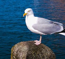 Seagull  by Xemerald-angelx