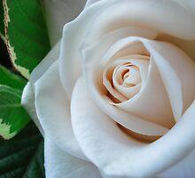 White Rose  by Victoria Kidgell