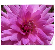 Dahlia - pink Poster