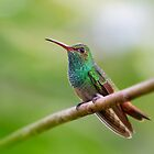 Rufous-tailed hummingbird - Costa Rica by Jim Cumming