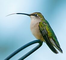 Hummingbird Tongue by Bonnie T.  Barry