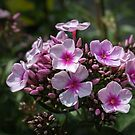 Phlox paniculata by PhotosByHealy