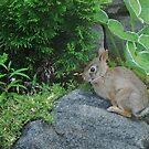 Backyard Bunny by Marjorie Wallace