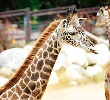 Silly Giraffe by abfabphoto