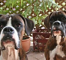 We've been good!! -Boxer Dogs Series- by Evita