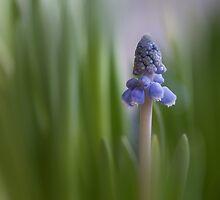 Grape Hyacinth by hanspeters
